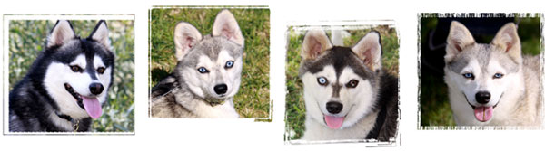 Alaskan Klee Kai from World of Wonder Alaskan Klee Ka