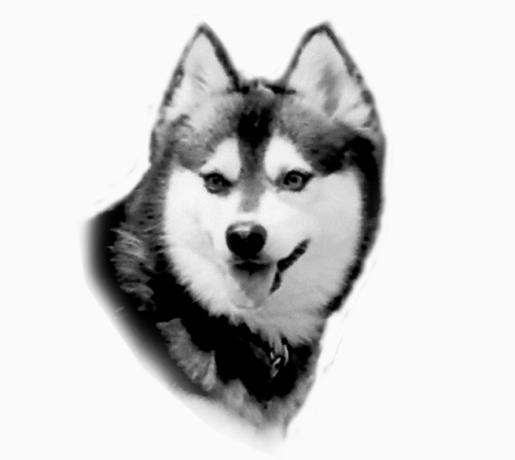 Alaskan Klee Kai - UKC Standard - Kukai of WOWAKK