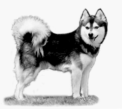 Alaskan Klee Kai Representaion in the UKC Standard - Kukai of WOWAKK