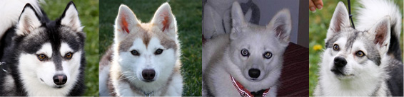 Four shades of the Alaskan Klee Kai, Black and white owned by Jennifer Parks; Red and White by Desarie Fletcher, Solid White Teri O'brien; Gray and White Leslie Welker