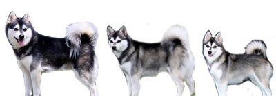 all three Alaskan Klee Kai sizes: Standard, Mini, Toy