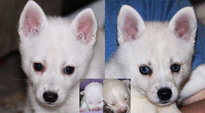 Pure white and Cinnar Alaskan Klee Kai